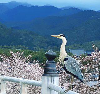 アオサギと桜 嵐山の法輪寺から/撮影 中村孝子