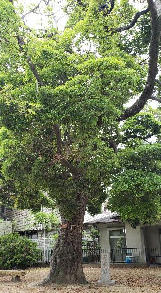 西川八幡神社境内にある椨の木と百度石:椨の木は大木となり防風の役割を果たし、建材としても利用され、樹皮は染料や線香の材料にもなる