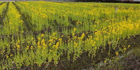 道端で見かけた田起こし前の田んぼに咲く菜の花